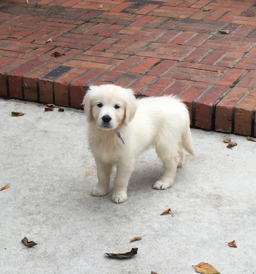 English Cream Golden Retriever Puppies For Salesouthern Charm Goldens