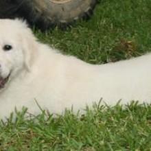 english cream retriever puppy