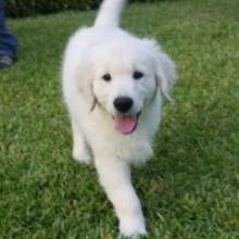 british white golden retriever puppies