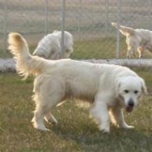 english cream golden puppies